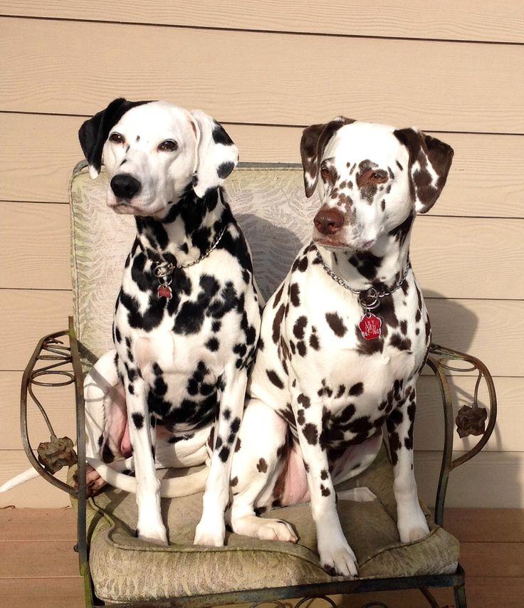 Dalmatian Puppies for sale Prices Embu Kenya