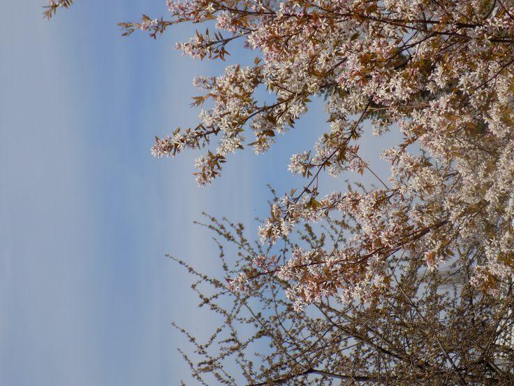 Flowering tree on Spring