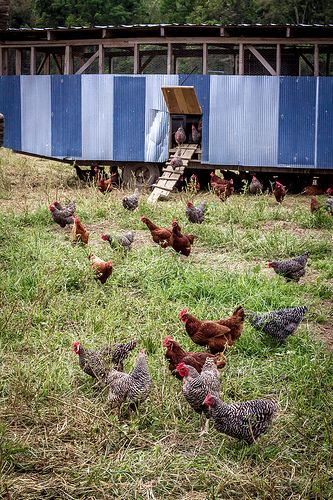 """The awesome """"eggmobile"""" at PolyFace Farm! These were the happiest hens I've ever seen...must git me one of them thar!!"""