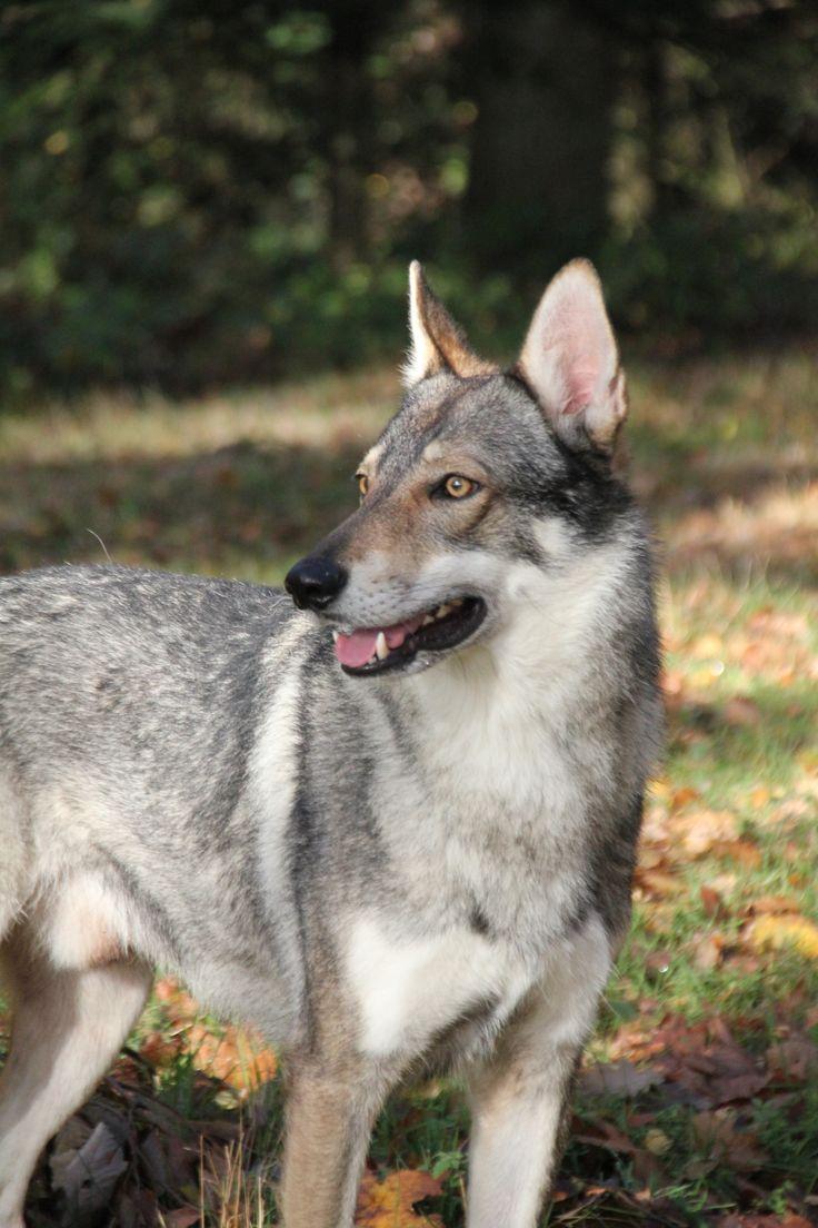Falcon Onze hond, een tsjechoslowaakse wolfhond / our dog, a Czechoslovakian Wolfdog
