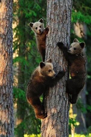 Jeunes ours bruns grimpant à un arbre.