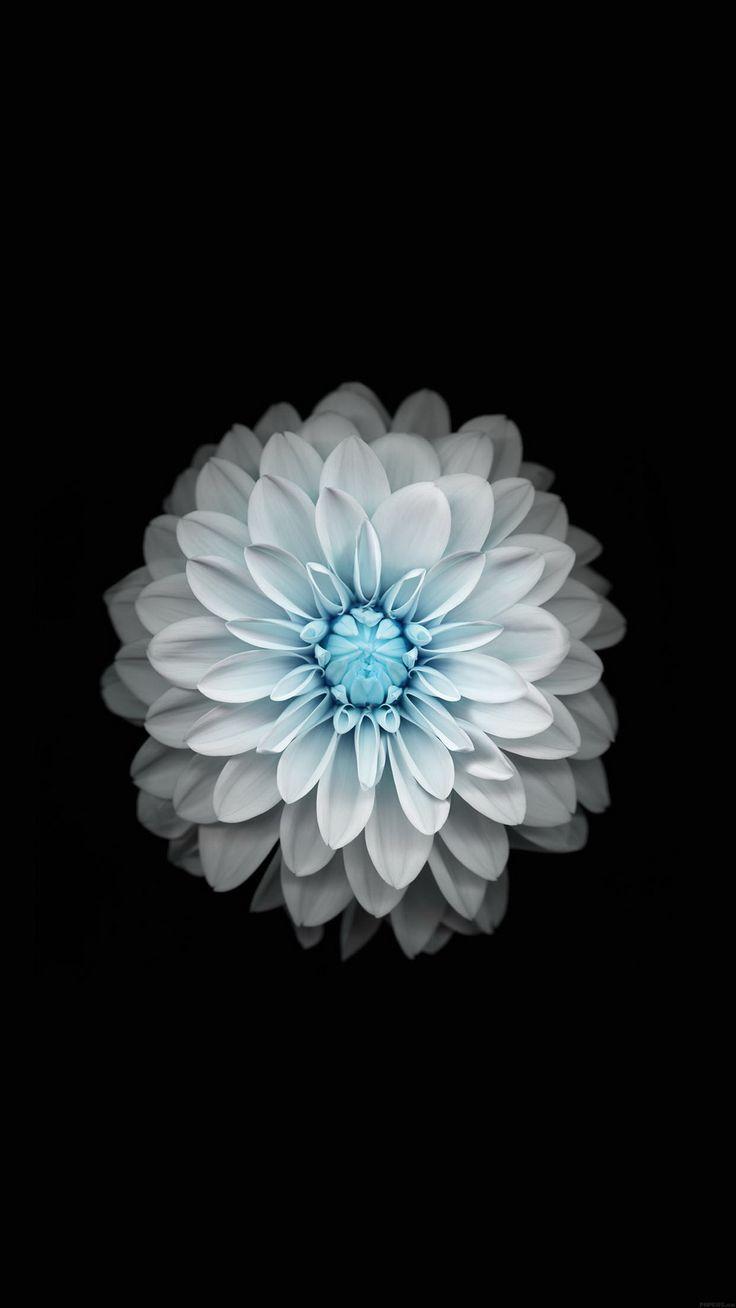 Blue white lotus