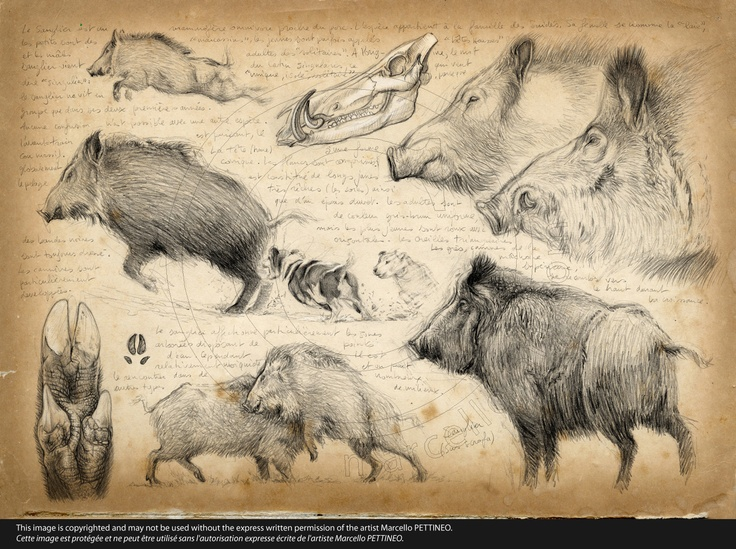 Wild boar / Jabalí (Sus scrofa)