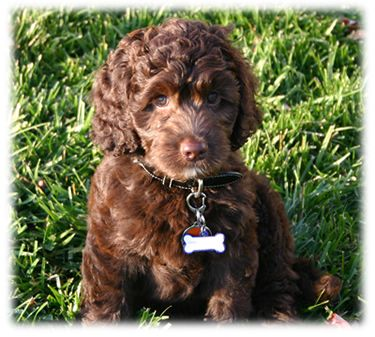 Here's my favorite - labradoodle puppy.  Chocolote just like Curly.