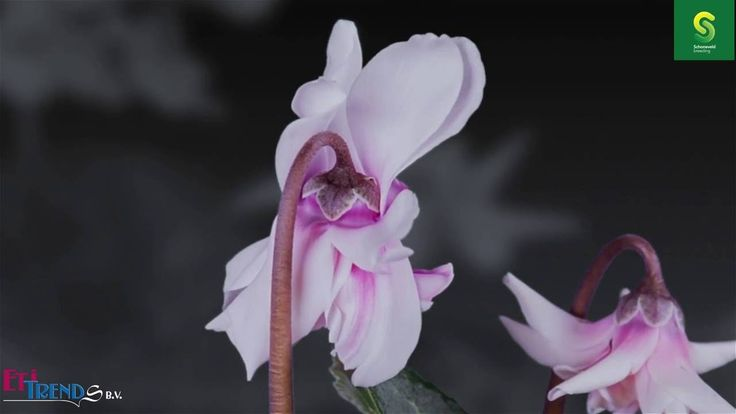 Timelapse Cyclamen Masako by Schoneveld Breeding.