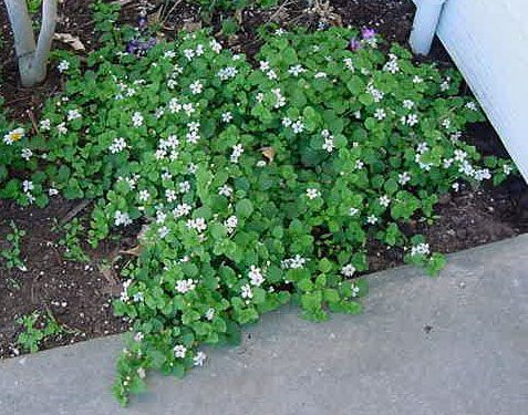 Ground cover Common Name(s) : Bacopa