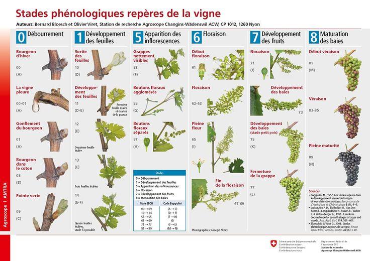 Stades phénologiques repères de la vigne