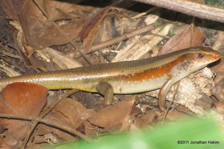 Common Sun Skink | Reptiles and Amphibians of Bangkok