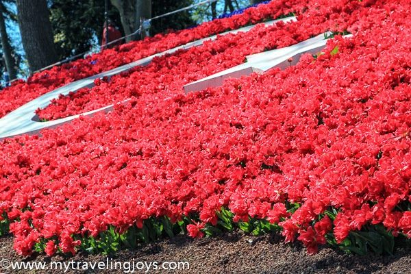 Red lale in pattern of #Turkish flag in #Istanbul. #tulips