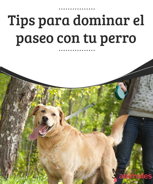 """Tips para dominar el paseo con tu perro   Cuando notamos que nuestro amigo se comporta mal al salir de paseo, puede ser que tenga dotes de """"líder"""". Mira tips para dominar el paseo con tu perro  #Consejos #Paseo #Perro"""