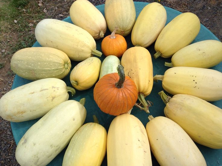 fall is here, but the garden doesn't know that yet! We have been harvesting a lot of veggies the last couple of weeks, and I wanted to catch you guys up.  Cucumbers never seem to …