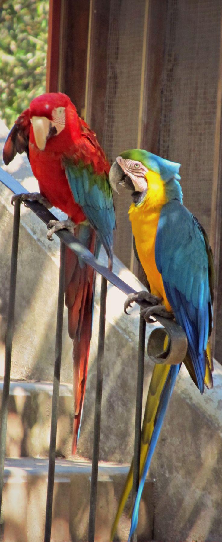 Macaws | La Senda Verde Nature Reserve | Amazon Rainforest | Coroico, Bolivia