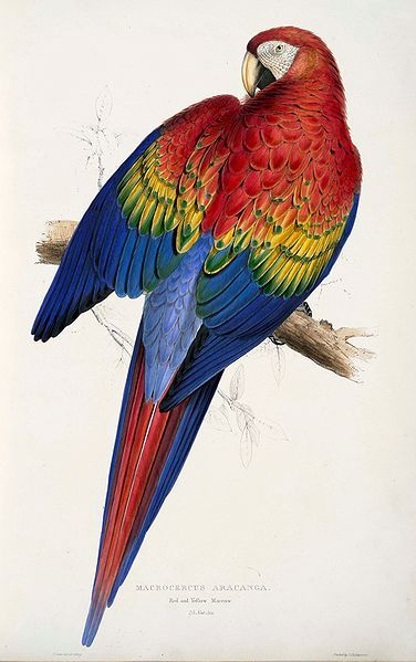 """Edward Lear painting of red and yellow macaw from """"Illustrations of the Family of Psittacidae, or Parrots"""""""