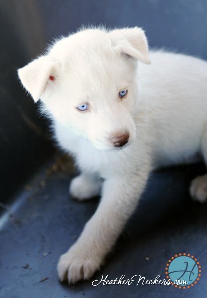 1000+ images about White husky dogs on Pinterest   Eyes, I ...