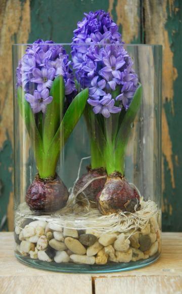 Zwiebelblumen: Buntes Treiben am Fenster -  Hyazinthen, Krokusse, Rittersterne und Narzissen liefern schon im Winter am Fenster einen Vorgeschmack auf den kommenden Frühling.
