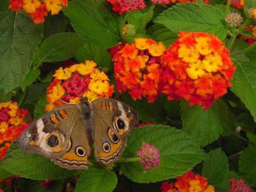Este arbusto es apreciado por su floración intensa y continua que se inicia a mediados de primavera y se extiende hasta la primeras heladas del otoño. Características Especie arbustiva de fácil ada…