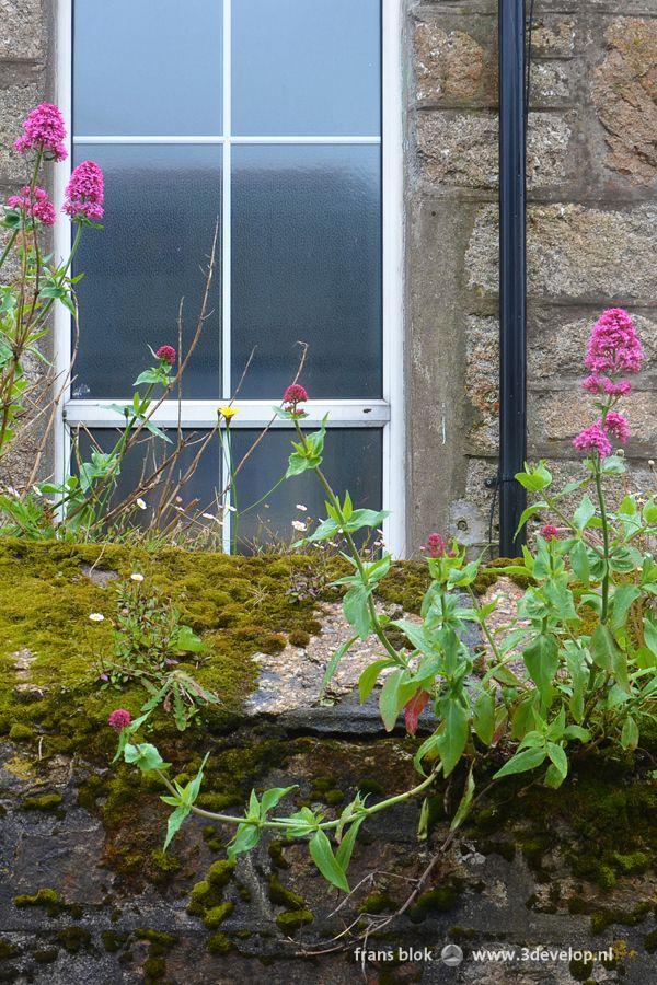 Compositie met raam, regenpijp, steen, mos en bloemen; begroeid muurtje voor een huis in Mousehole (spreek uit Mauw-zel), Cornwall, Engeland.