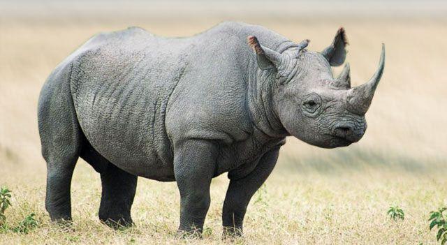 Black Rhino Endangered | Black Rhino Habitat and Causes of Being Endangered