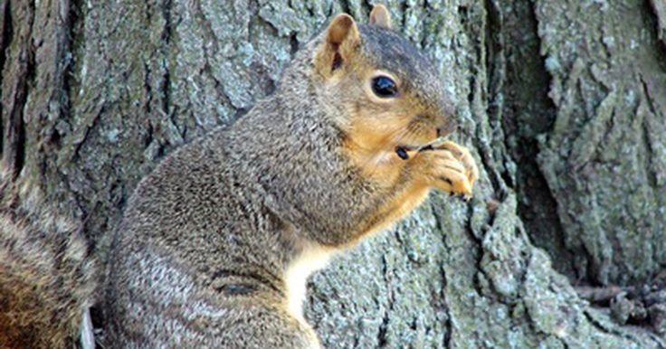 Como espantar pássaros e esquilos de árvores frutíferas. Esquilos e pássaros são duas das pragas mais comuns associadas às árvores frutíferas, e devem ser tomadas medidas para proteger as plantações. Repeli-los é algo simples. Redes de pássaros, fita de brilho e um repelente de esquilo caseiro são formas relativamente baratas e humanas de tirar as pragas de suas árvores. Use essas ferramentas para ...