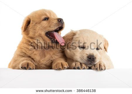 Fluffy Chow-chow puppy, isolated