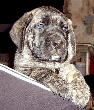 This looks like what my American mastiff looked like when he was a puppy. American mastiffs are the best family dogs EVER!! All though if you are going to get one get it from Flying W Farms they have the best American Mastiffs EVER!!! :) we have gotten three from there and all of them have been AMAZING dogs!! One died sadly and the other we had to put down because something attacked it during the night and her eye could have gotten infected if we didn't :( :( and she couldn't do anything…