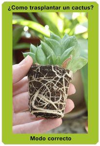 Como trasplantar un cactus - Correctamente   Plantas - Flores - Cactus