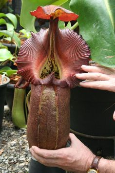 Nepenthes robcantleyi 'Queen of Hearts' is a tropical pitcher plant (carnivorous plant)