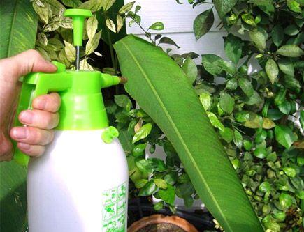 Pesticida casero. Ingredientes:1 cabeza de ajos,2 cucharadas de jabón lavavajillas,1 hoja de ruibarbo (opcional),2 guindillas frescas o secas,1lt. de agua,1 colador,1 cacerola y 1 botella c/spray. Instrucciones: Echar la cabeza de ajos, las guindillas, la hoja de ruibarbo y el agua en una cacerola, hervir todo junto durante 10 minutos. Dejar enfriar por completo y pasar el líquido resultante por el colador. Rellenamos la botella con spray y le añadimos las 2 cucharadas de jabón lavavajillas.
