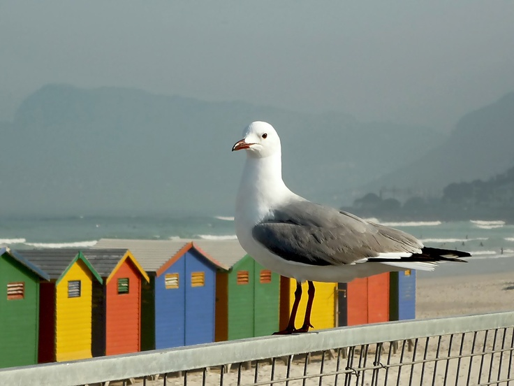 seagull at Muizenberg