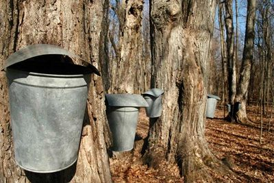 Trees with sap buckets placed