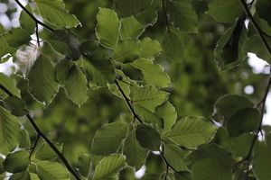 Green Beech | If you like this and want it in a printable version, get it from my online gallery at rgbstock.com for free | Camilla Ahrensbøll's gallery: camillahviid