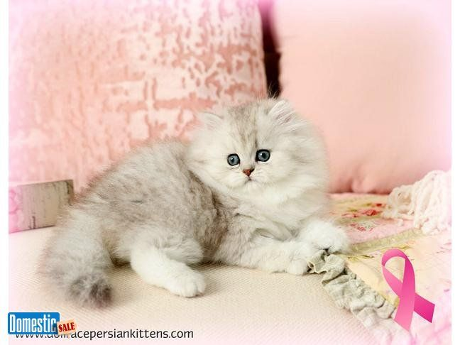 Stunning Silver Tip Persian Kittens Available Check Out Our Beautiful Lineup Of Silvertip Persian Kittens Cu Persian Kittens Cat Adoption Cute Cats And Kittens