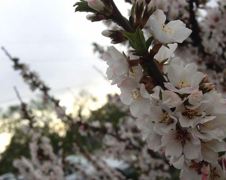 Надеюсь по географии у меня будет пятёрка а мы ещё в понедельник учимся если кто не знал а учебники ждали класс . . Пс. Единственный способ поднять акк не участвовать в сфс а пиарить его тегами простите . . . . #flowers #flower #petal #petals #nature #beautiful #love #pretty #plants #blossom #sopretty #spring #summer #flowerstagram#flowerslovers #flowerporn #botanical #floral #florals  #instablooms #botanical#цветы#вишня#природа#школа#сфс#instagood#sfs#follow…