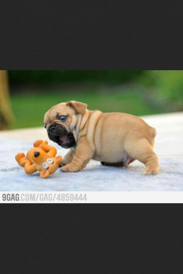 Baby pug look at that BELLY!!!!