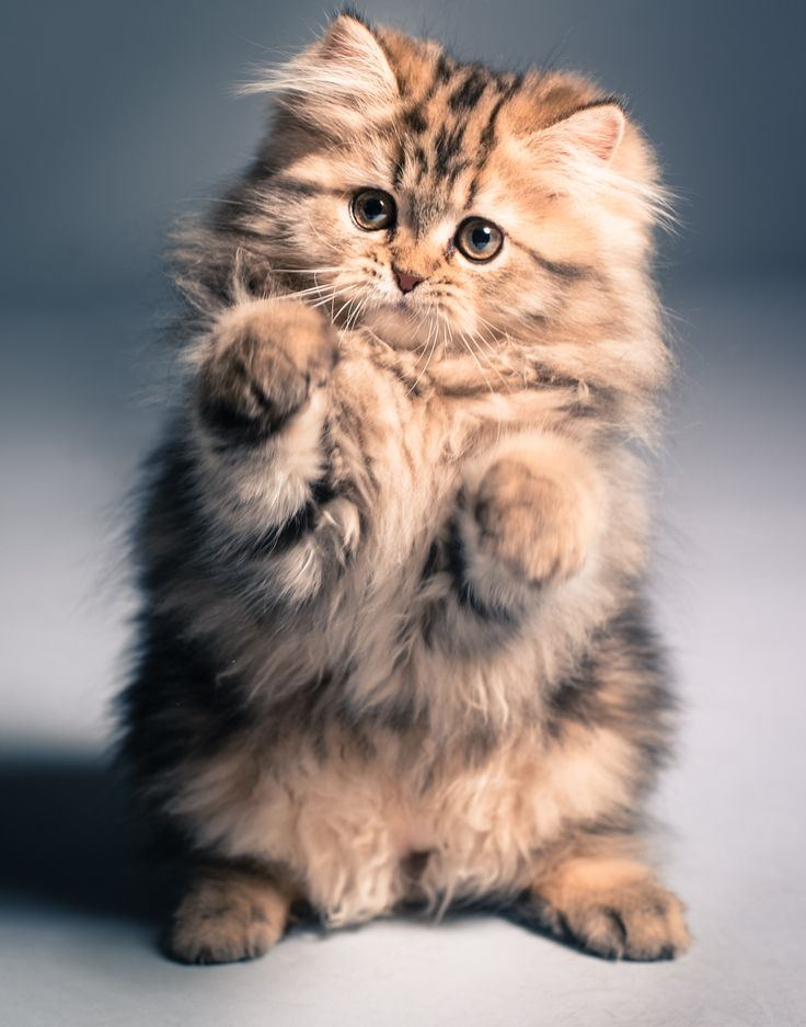 Best Fluffy Kittens Ideas On Pinterest Cute Kittens Cute - 25 of the fluffiest cats ever