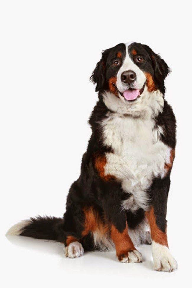 Psy rasy Berneński pies pasterski