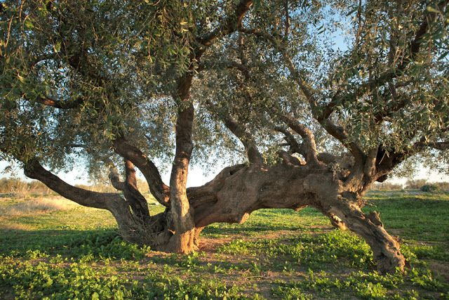 An ancient olive tree in Zanghouan area Tunisia #travel #oliveoil #Tunisia