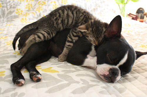 boston terrier and cats 1703 best images about puppy love boston terriers on 8871
