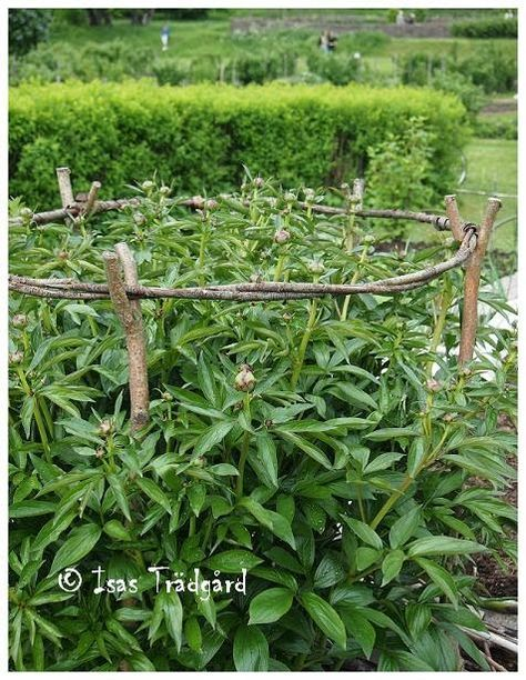 Peony Support Idea - Made from sticks and twigs. Just lovely, whimsical and just…