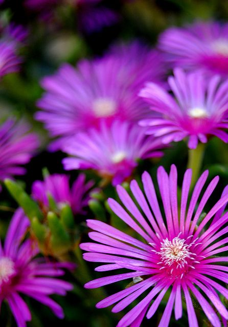 ice plant great groundcover / full sun drought tolerant