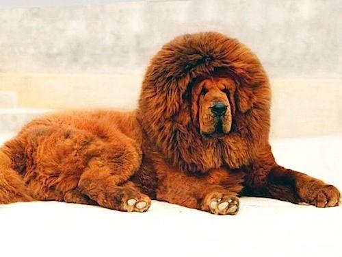 Le razze più richieste del migliore amico dell'uomo arrivano a costare svariate migliaia di euro. Tra i cani più costosi ci sono anche incroci ottenuti recentemente.