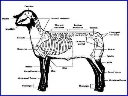 Sheep Skeleton Diagram 1999 Sv650 Wiring Anatomy Cerca Con Google Animal Mammals