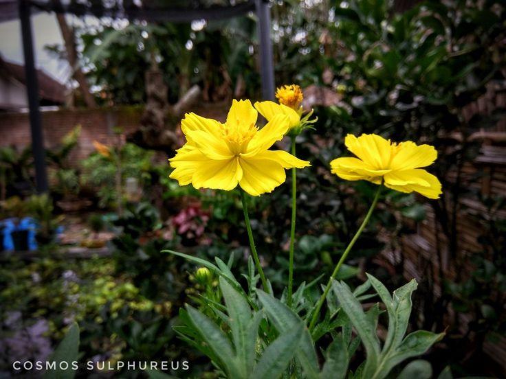 Cosmos Sulphureus.  Bunga Kenikir Kuning.