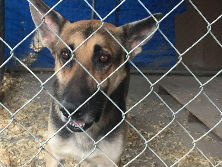 German Shepherd Dog dog for Adoption in Del Rio, TX. ADN-375722 on PuppyFinder.com Gender: Male. Age: