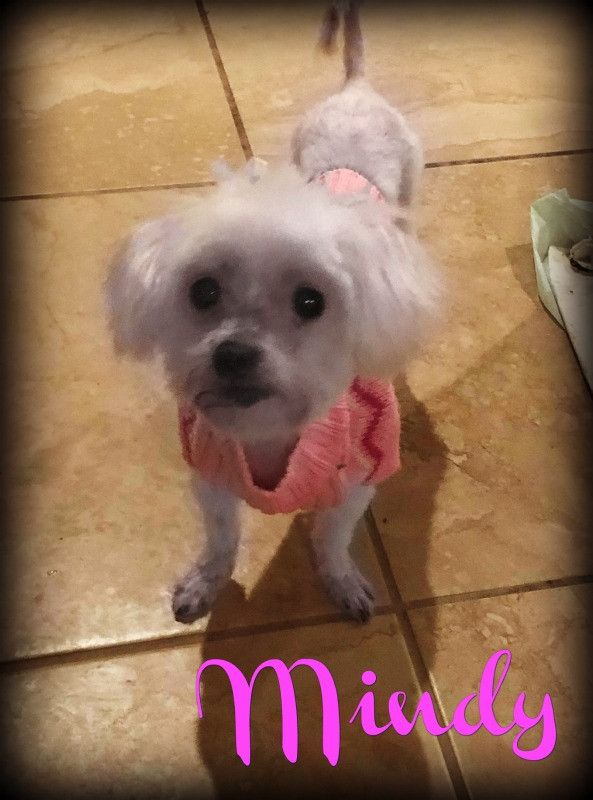 Adopt Mindy On With Images Dog Adoption Maltese Help Homeless Pets