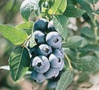 Info for planting our blueberry bushes: Northski Blueberries, Blueberries Bush