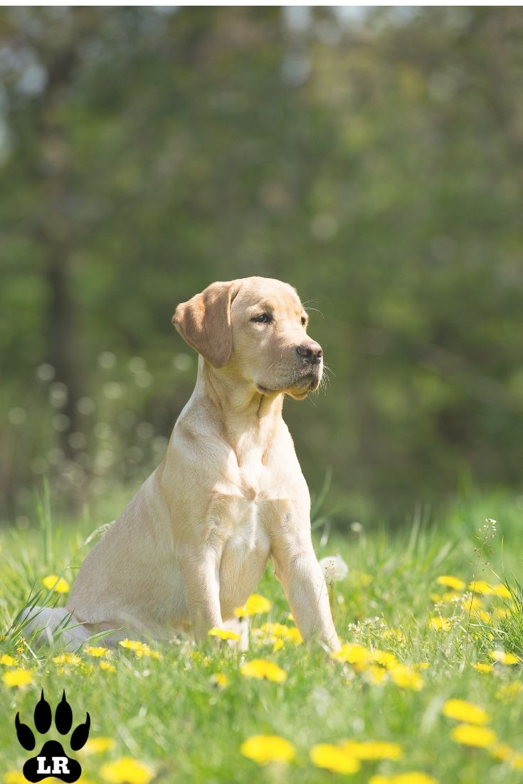 What Is The English Labrador Labrador Puppy Black Chocolate