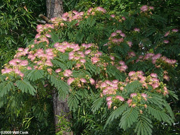 Mimosa Tree. Had one of these in my yard in NC. Dr. Seuss-like to me!