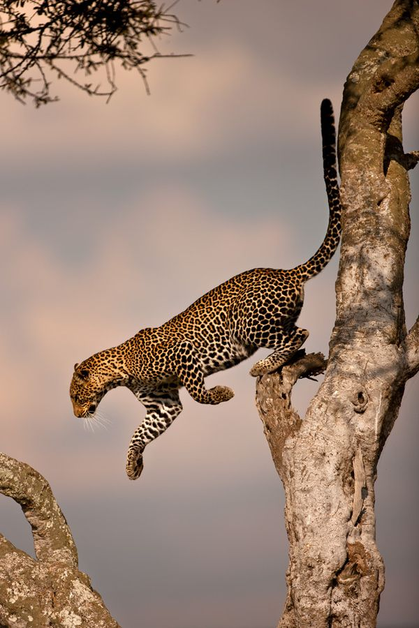A beautiful photo of a Leopard, going high to spot prey and from the way his body language is in this, he's off to catch what he saw.