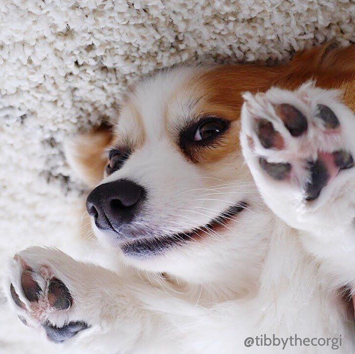 """3,569 Likes, 44 Comments - Tibby Tibbles (@tibbythecorgi) on Instagram: """"Me When I Get Home From Work #CantMove #SomeoneSpoonMeFood #AndWine #LotsOfWine"""""""
